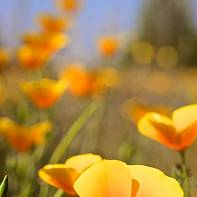 San Francisco Landscape Photography Paul Pardue 036339 California, Flower, Poppy
